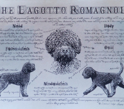 Lagotto Romagnolo,coat,
