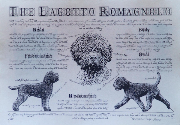 Lagotto Romagnolo,coat,