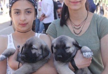 Kangal Dog,festival