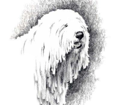 Komondor,Magyar,Cuman,Dog of the Cuman