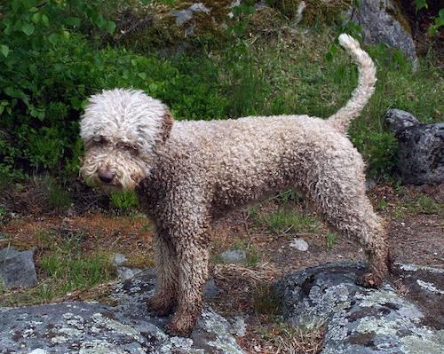 Lagotto Romagnolo,coat,grooming