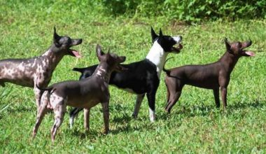 American Hairless Terrier,genetics