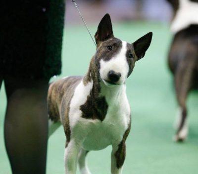 Miniature Bull Terrier,Raymond Oppenheimer