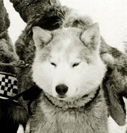 Siberian Husky,Togo,Balto,Fritz,