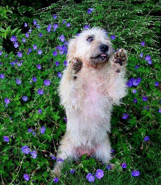Glen of Imaal Terrier,Glen sit,