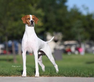 nickname, Pointer, English Pointer,Spanish Pointer