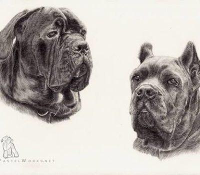 Cane Corso, Italian Mastiff, Italian Corso, Corso,