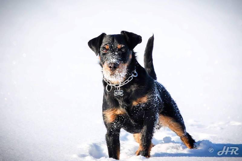 Jagdterrier,Richard Reynolds,Dan Sayers,German Hunting Terrier