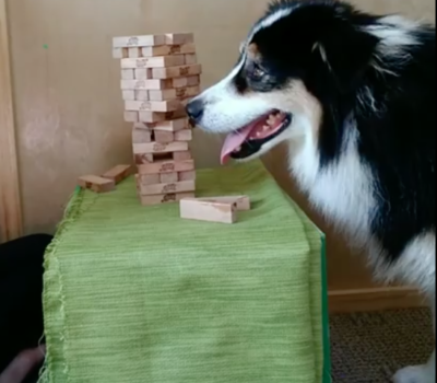 Australian Shepherd, Jenga, Secret,