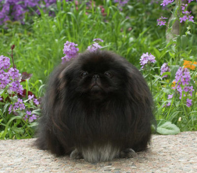 Pekingese,color, Paris HIlton,Dowager Empress Cixi