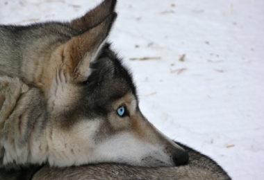 blue eyes, eyes, genetics,Siberian Husky