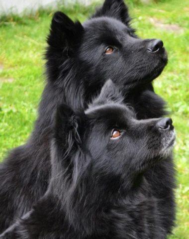 Swedish Lapphund,National dog of Sweden, Sami,