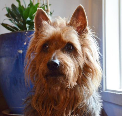 Norwich Terrier,Soft Coated Wheaten Terrier,Australian Terrier,Scottish Terrier,AKC
