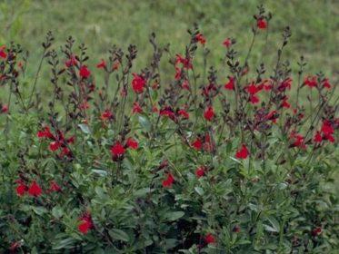 Chihuahueno,Chihuahua,the New Yorker,Salvia greggii