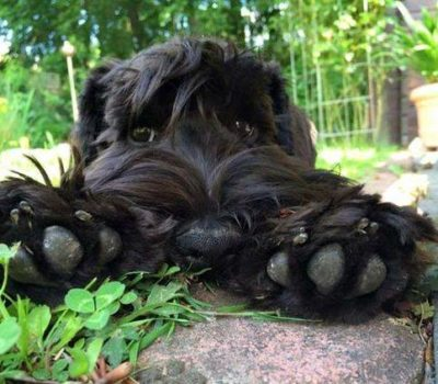 Black Russian Terrier, paws