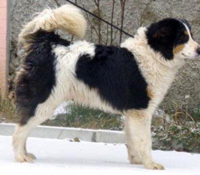 Boznian-Herzegovian Sheepdog,Tornjak,dogs from the mountain,bosnian shepherd dog,Croatian Shepherd dog