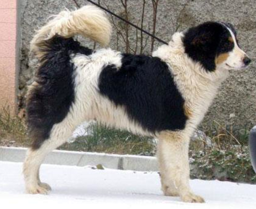 Boznian-Herzegovian Sheepdog,Tornjak,dogs from the mountain,bosnian shepherd dog,Croatian Shepherd dog