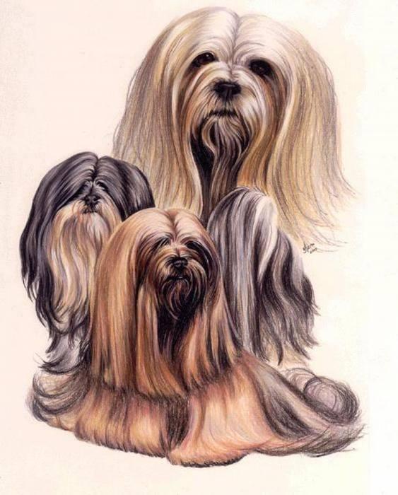 Lhasa Apso,Lhasa Terrier,Tibetan Apso