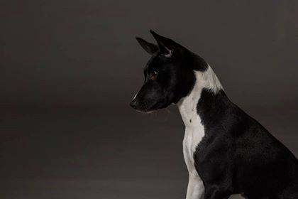 Basenji,vocalization, bark, barroo,yodel