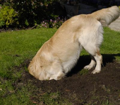 earthdog,title, AKC,Border Terrier, Dachshund