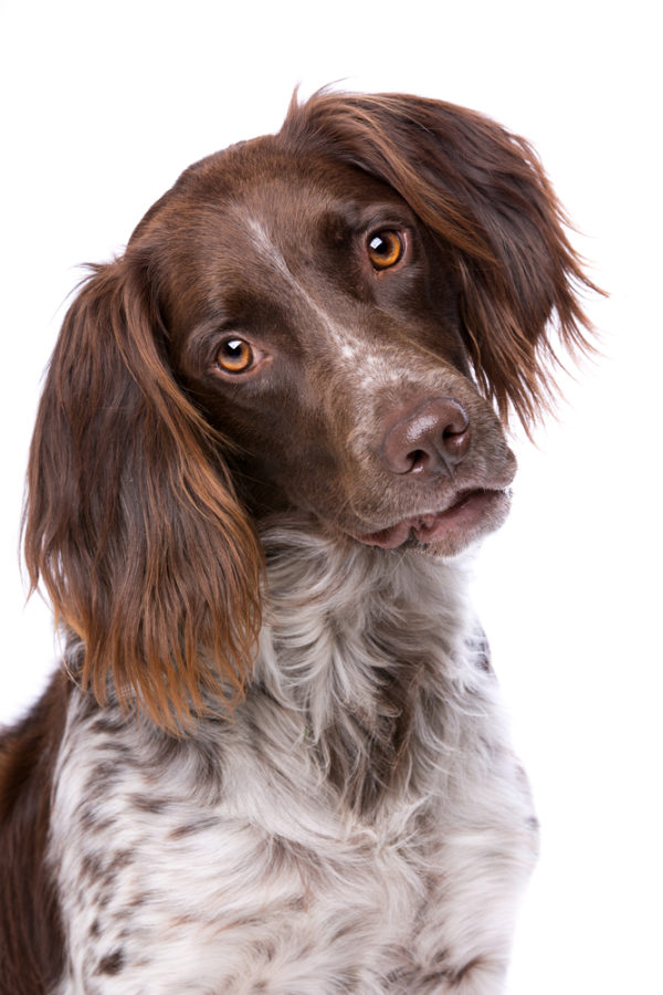 Small Munsterlander,gun dog
