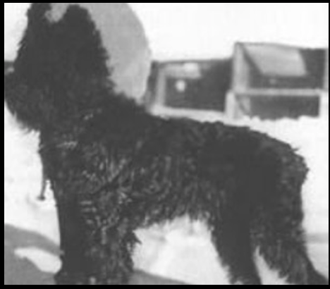 Black Russian Terrier, Colonel G. Medvedev,Roy, Giant Schnauzer,Red Star Kennel