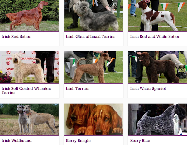 Glen of Imaal Terrier,Irish Water Spaniel, Irish Setter,,Irish Red and White Setter,Soft Coated Wheaten Terrier, Irish Wolfhound, Irish Terrier, Kerry Blue Terrier, Kerry Beagle, Gadharchumann na hÉireann
