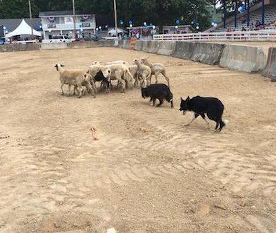 Border Collie,Stockdogs,Collins Stockdogs,herding