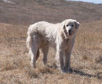 Karabash, Akbash,Anatolian Shepherd Dog