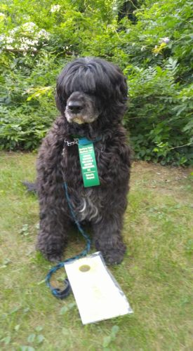 Not Just a Pretty Face,Portuguese Water Dog,