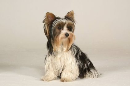 Biewer Terrier,Margot Eskins,Biewer Yorkshire Terrier,Werner & Gertrude Biewer