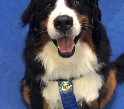 Bernese Mountain Dog, AKC, Canine Good Citizen