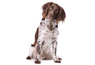 Small Munsterlander,hunting dog, gun dog