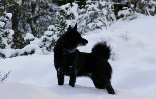 Black Norwegian Elkhound,Norsk Elghund Sort, Norsk Elghund Black, Black Elkhound, Norwegian Moose Dog