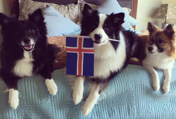 Icelandic Sheepdog Day,Icelandic Sheepdog,Mark Watson