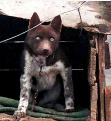 Trabzon Zerdava Dog