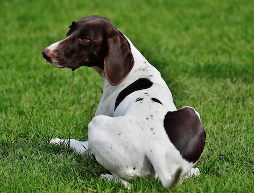 Old Danish Chicken Dog,Old Danish Bird Dog,Altdanischer Huhnerhund,Old Danish Bird Dog, Bakhound