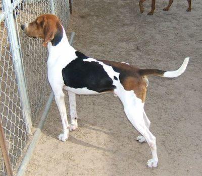 Treeing Walker Coonhound,Running Walker Coonhound