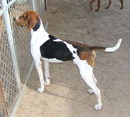 Treeing Walker Coonhound,Running Walker Coonhound