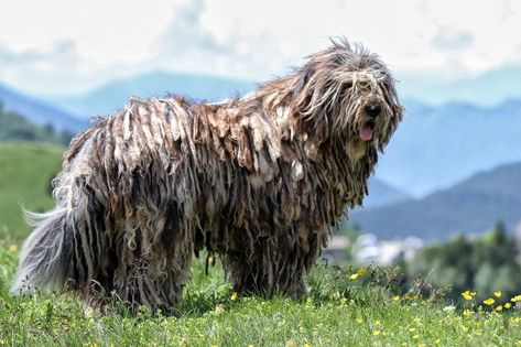 Bergamasco, Alpine Sheepdog,Mountain Sheepdog