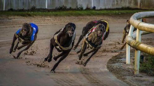 Greyhound,Racing Colors, trap,