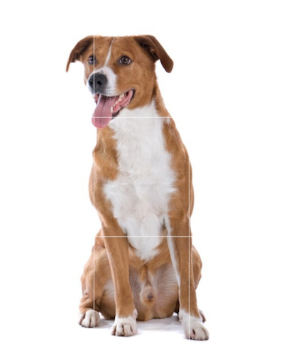 Osterreichischer Pinscher,Osterreichisher Kurzhaarpinscher,Austrian Short-Haired Pinscher, Austrian Farm Dog