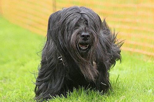 ears, Skye Terrier,vulnerable breed,Dudley Coutts Marjoribanks,Baron Tweedmouth,Ishbel Maria Hamilton-Gordon,Guisachan