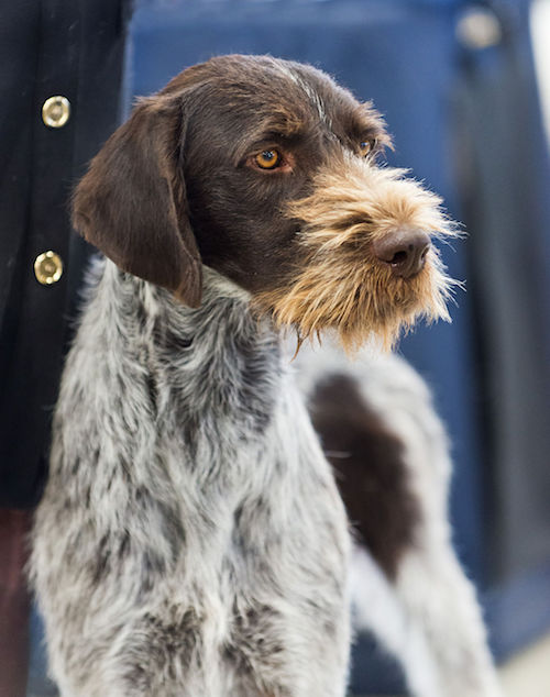 German Wirehaired Pointer, Maggie,conservation dog, scat sniffing dog,tiger