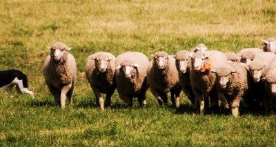 Meeker Classic, Border Collie, Sheepdog, Sheepdog Trials