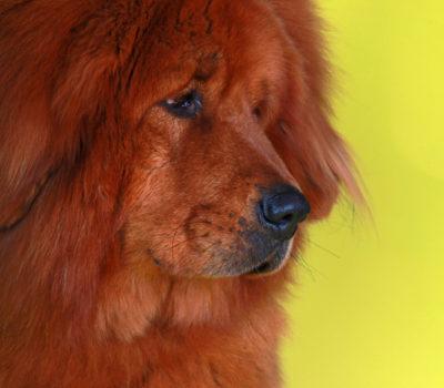 Tibetan Mastiff,