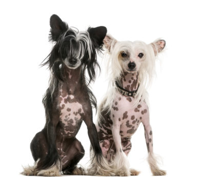 hairless,Xoloitzcuintli, the Peruvian Inca Orchid, American Hairless Terrier,Chinese Crested Hairless,Argentine Pila Dog,genetics