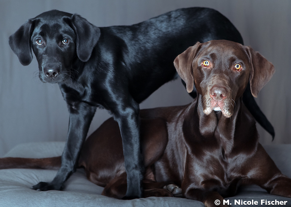 Labrador Retriever,Rally, AKC,Zorro,Hershey