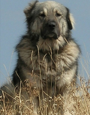 Greek Shepherd, Hellenikos Poimenikos,ARCTUROS,LGD,livestock guardian dog