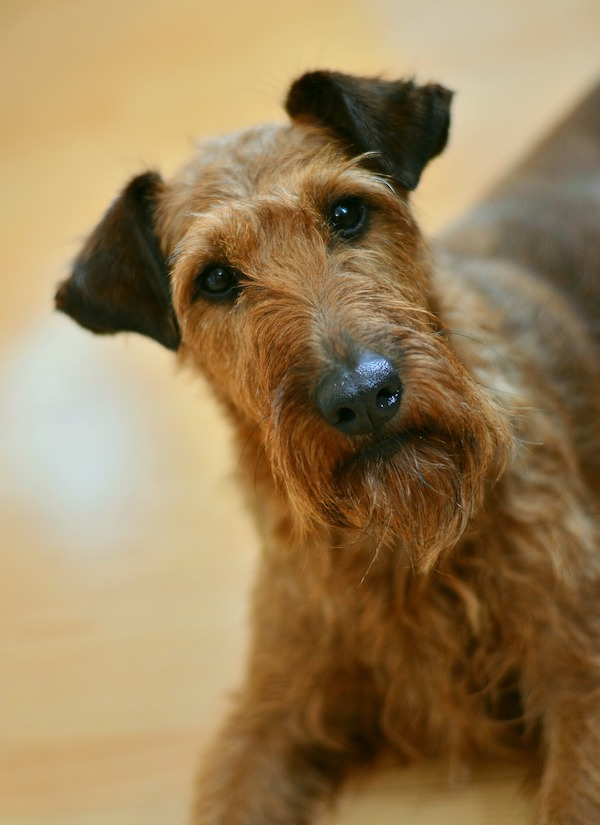 fire, terrier fire, Bull Terriers, Smooth Fox Terriers, Irish Terrier,Border Terriers, Wire Fox Terriers,Miniature Bull Terriers Scottish Terrier,Billy Joel,